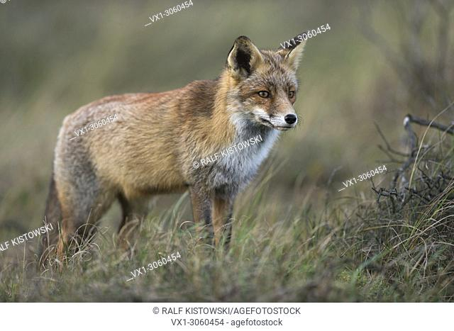 Beautiful Red Fox (Vulpes vulpes) stands in high grass, watching high concentrated, wildlife, Germany, Europe