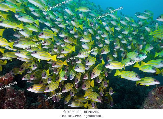 Schwarm Blaustreifen-Schnapper, Lutjanus kasmira, Ellaidhoo Hausriff, Nord Ari Atoll, Malediven, Shoal of Bluestripe Snapper, Lutjanus kasmira