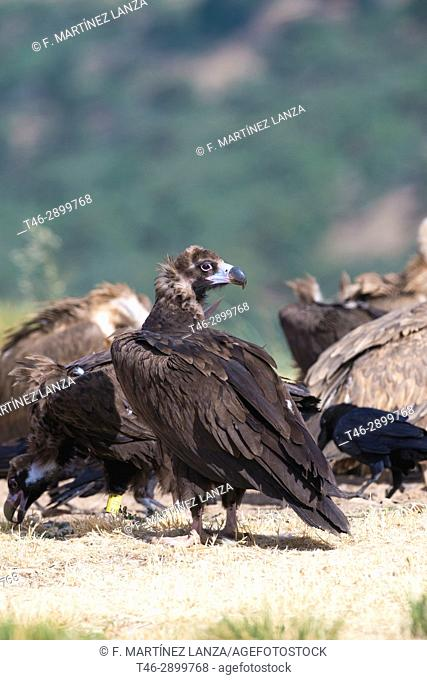 Black vulture (Aegypius monachus). Photographed in the Espinar Segovia