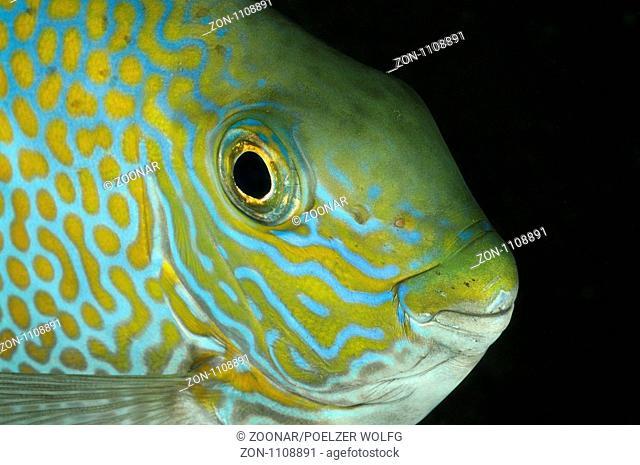 Siganus guttatus, Goldfleck-Kaninchenfisch, Portrait, Gold-saddle rabbitfish, portrait, Bali, Indonesien, Indopazifik, Bali, Indonesia Asien, Indo-Pacific Ocean