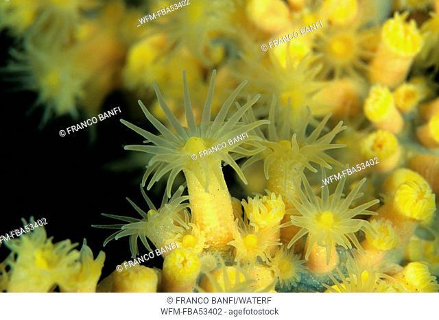 Polyps of Mediterranean Black Coral, Gerardia savaglia, Sardinia, Italy