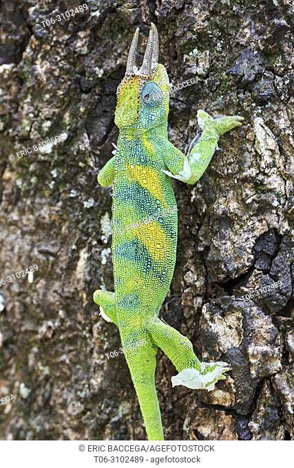 Jackson's three-horned chameleon (Trioceros jacksonii) climbing on tree. Bwindi Impenetrable Forest, Uganda, Africa
