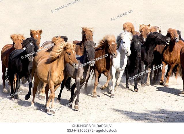 Icelandic Horse. Herd trotting in a paddock. Austria