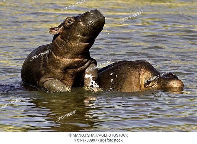 Hippo baby enjoying life on mother's back