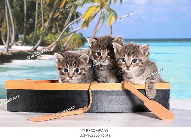 domestic cat - three kittens sitting in boat