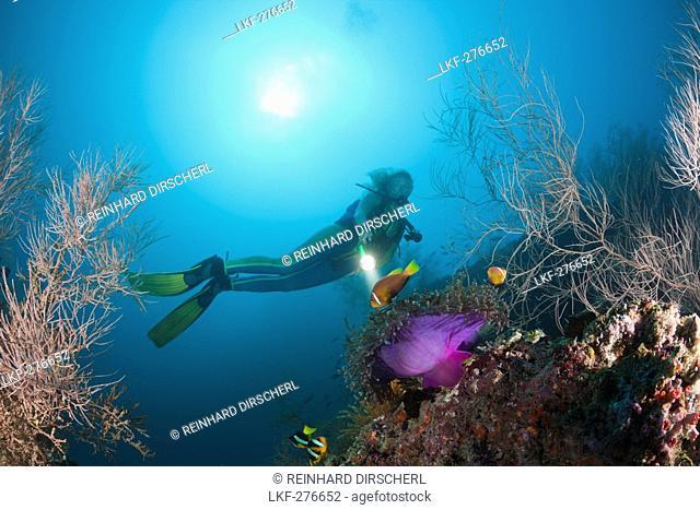 Maldives Anemonefish and Diver, Amphiprion nigripes, Maldives, Maya Thila, North Ari Atoll
