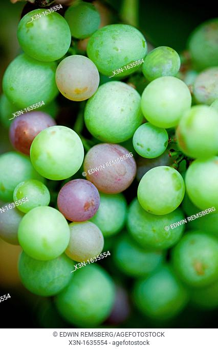 Bunch of white grapes hanging on the vine