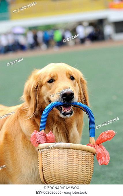 Golden retriever dog holding basket