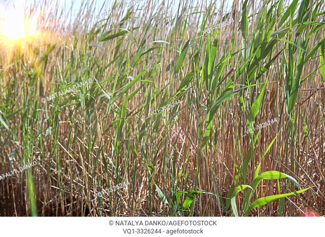 dry and green reed stalks on the lake sway from the wind, Ukraine, sunny day
