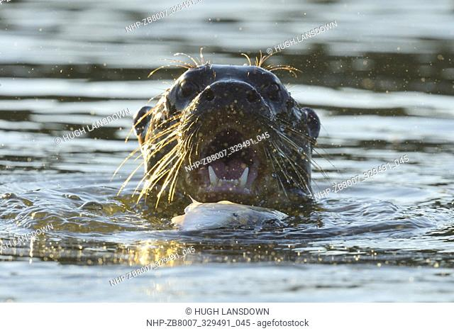 Giant River Otter (Pteronura brasiliensis) calling out while eating a fish in Lake Sandoval in the Amazon Rainforest, Peru, South America