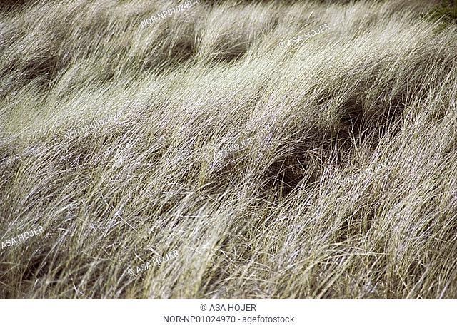 Gras som vajar i vinden