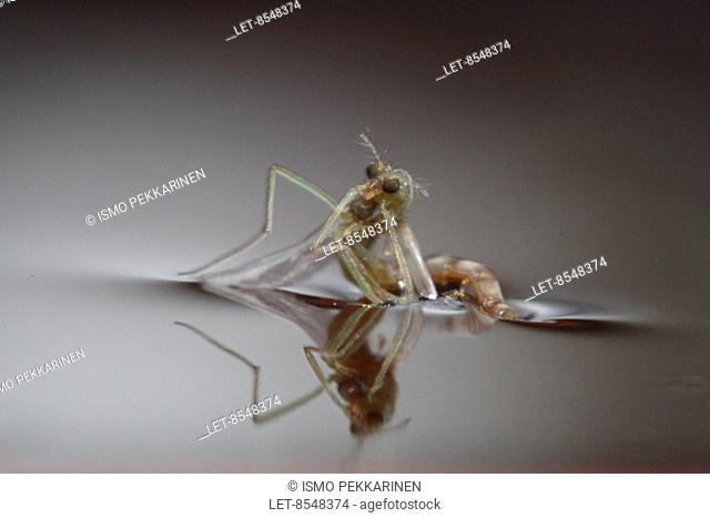 A mosquito Culicidae in water