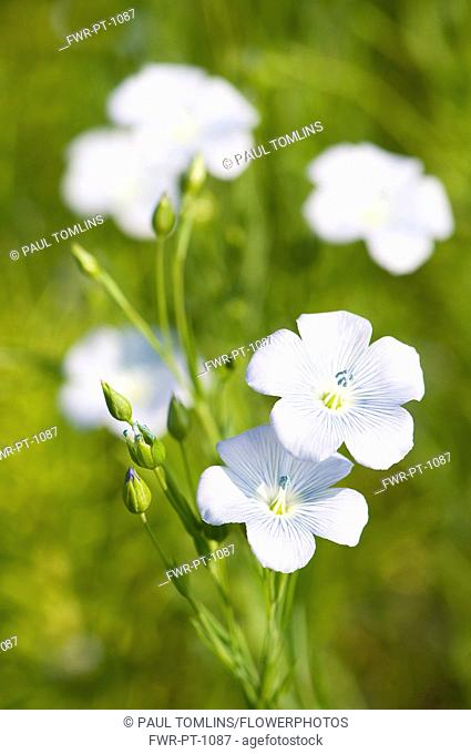 Linseed, Flax, Linum usitatissimum, Close view of the pale blue flowers