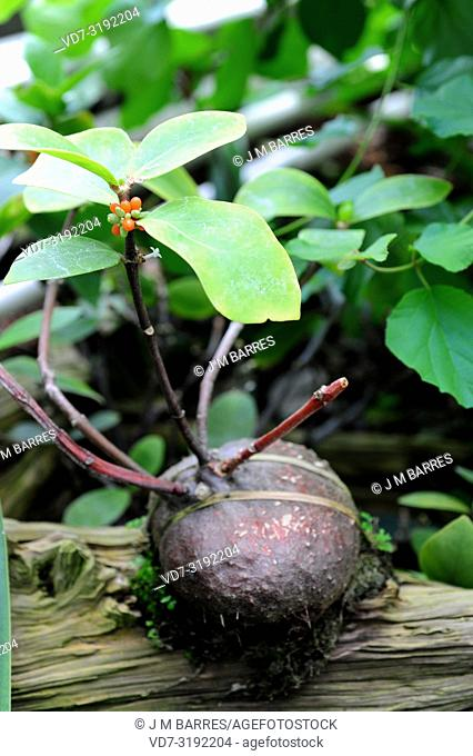 Hydnophytm formicarum is an epiphyte shrub native to southeastern Asia. Its spherical caudex contains ants in symbiosis