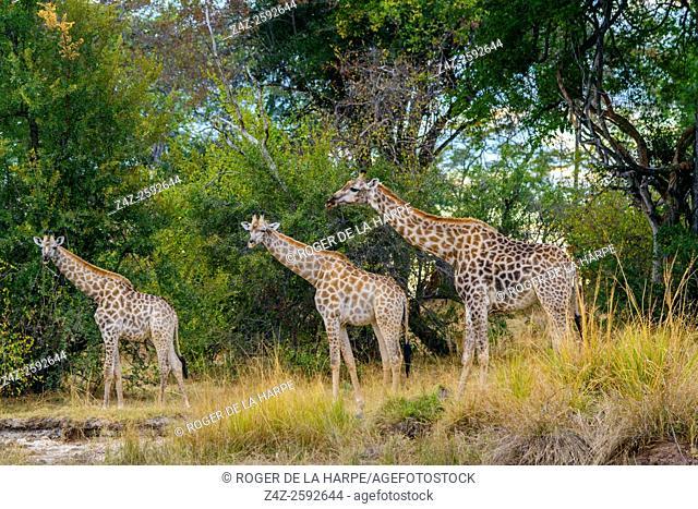South African giraffe or Cape giraffe (Giraffa camelopardalis giraffa). Victoria Falls. Zambia