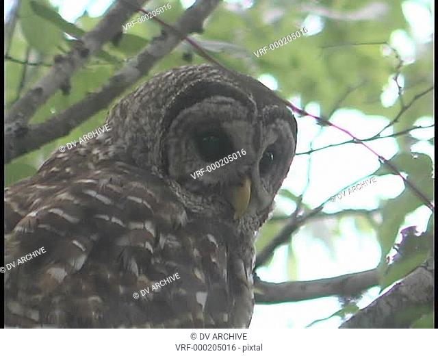 A spotted owl looks down from his perch in a tree