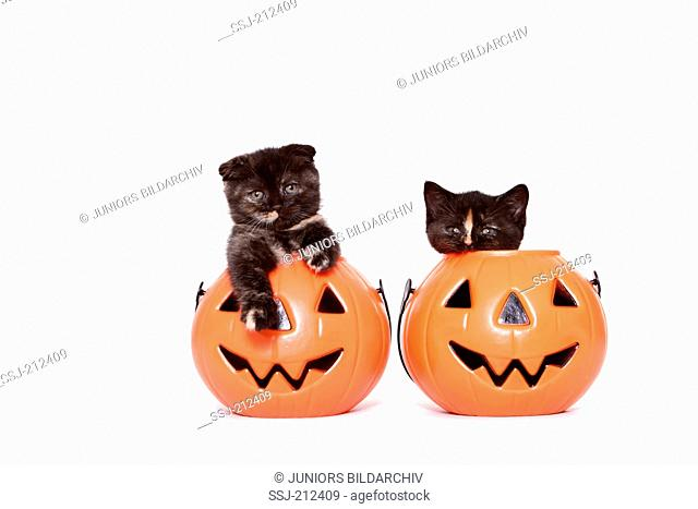 Scottish Fold and British Shorthair. Two kittens (6 weeks old) in a Jack-O-Lanterns. Studio picture against a white background. Germany