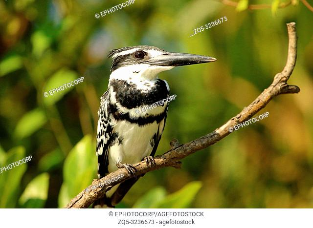 Pied Kingfisher, Ceryle rudis, Ranganathittu Bird Sanctuary, Karnataka, India