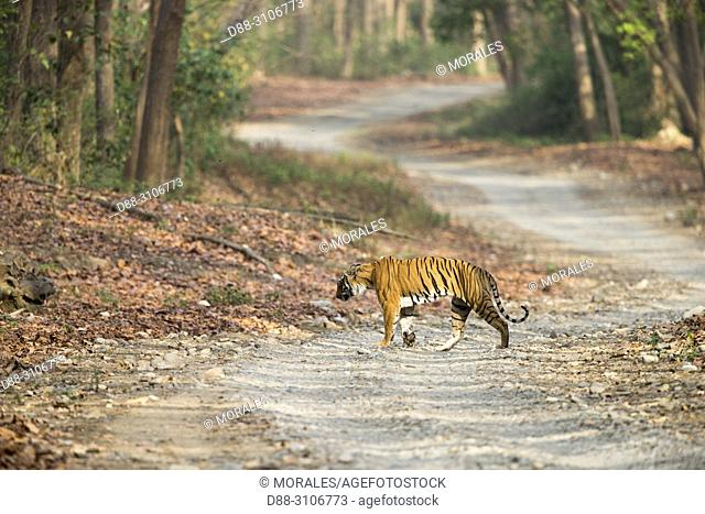 Asia, India, Uttarakhand, Jim Corbett National Park, Dhikala, Bengal Tiger ( Panthera tigris tigris) crossing a forest walkway of sal or sâla (Shorea robusta)