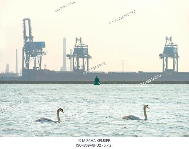 Two swans swimming in front of industrial backdrop