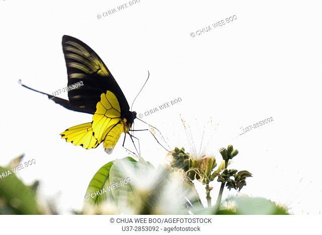 Butterfly. Badul homestay, Sarawak, Malaysia