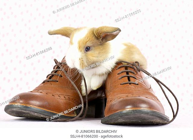 Lop-eared Dwarf rabbit. Baby (19 days old) in brown gents shoes. Studio picture. Germany