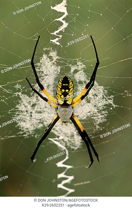 Black and yellow argiope (Argiope aurantia), Great Smoky Mountains National Park, Tennessee, USA
