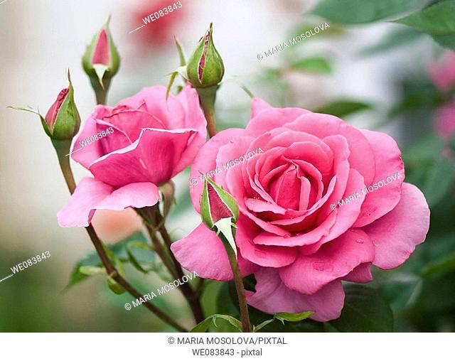 Pink Rose Flowers and Buds. Rosa hybrid