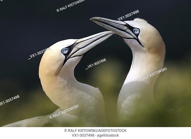 Northern Gannets ( Morus bassanus ) pair welcomes each other, wildlife, Europe