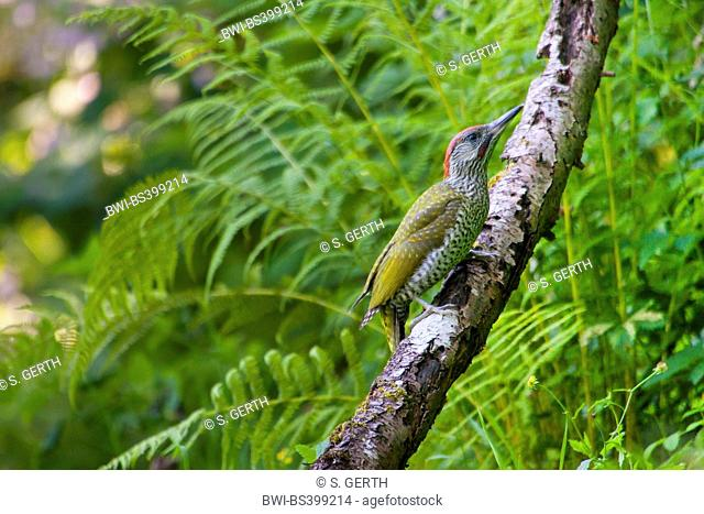 green woodpecker (Picus viridis), young green woodpecker sits on a branch, Switzerland, Sankt Gallen