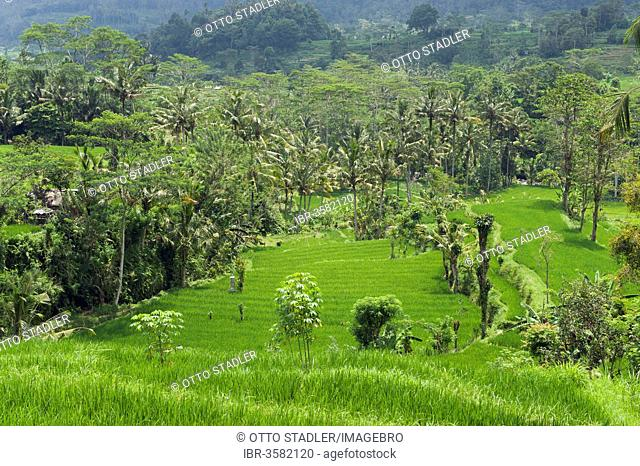 Rice terrace landscape with coconut palms
