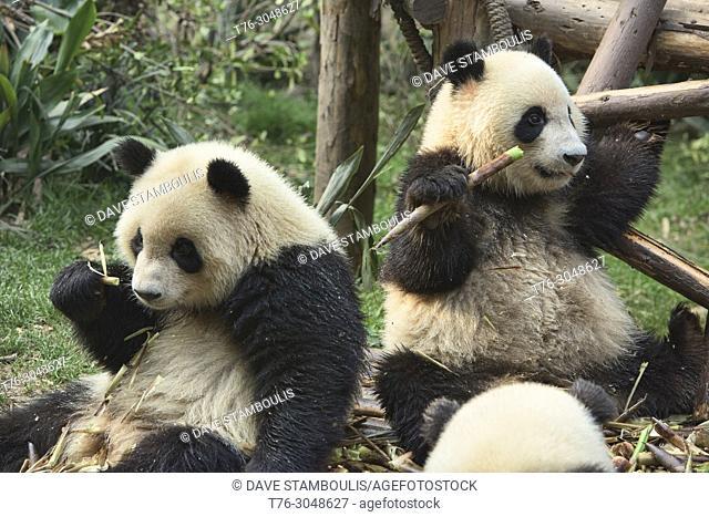 Giant pandas eating bamboo at the Chengdu Research Base of Giant Panda Breeding in Chengdu, Sichuan, China
