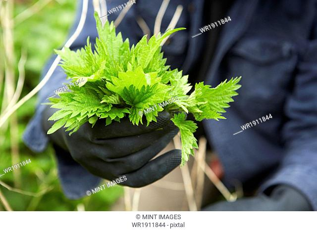 A man holding a fresh handful of stinging nettles