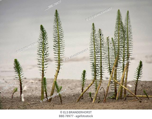 Common mare's tail, a waterplant at a low water level