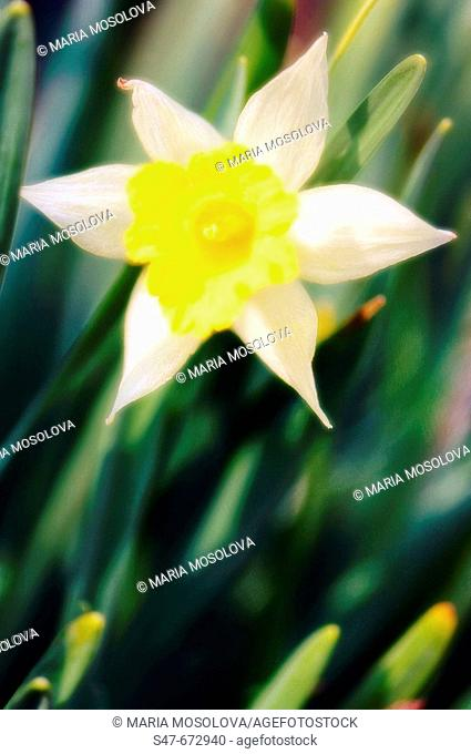Daffodil. Narcussus hybrid. April 2007, Maryland, USA