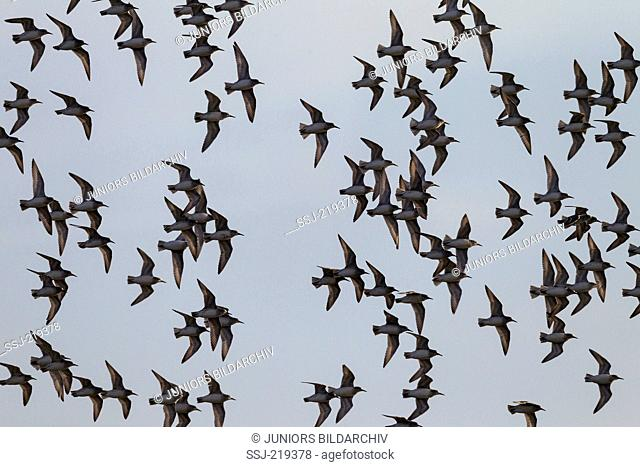 Knot (Calidris canutus). Flock in flight. Schleswig-Holstein, Germany