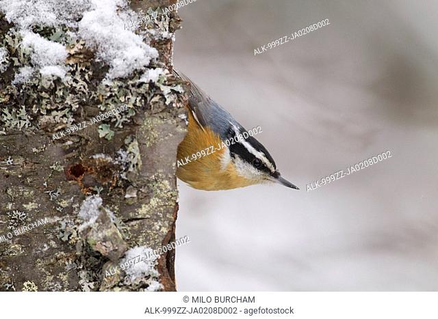 Male Red-breasted Nuthatch perched upside down on lichen covered birch bark, Anchorage, Chugach Mountains, Southcentral Alaska, Winter