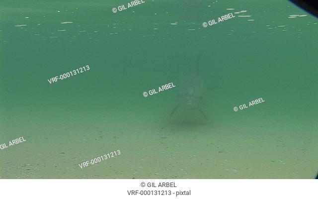 Bottlenose dolphins Tursiops truncatus. in shallows. Australia