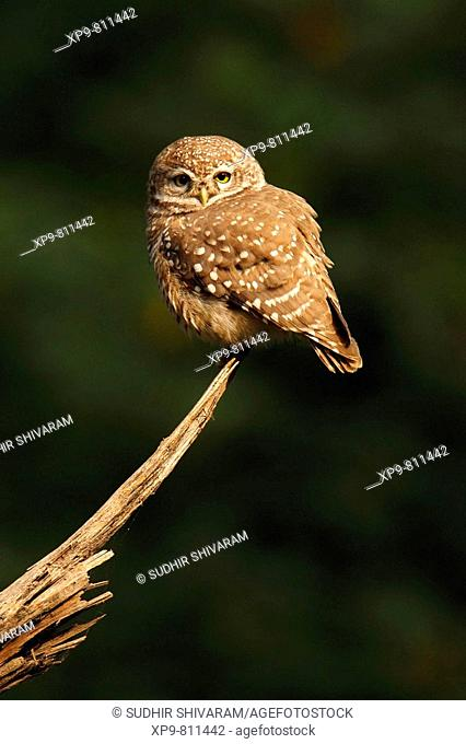 Spotted Owlet. Keoladeo Ghana National Park, Rajasthan, India