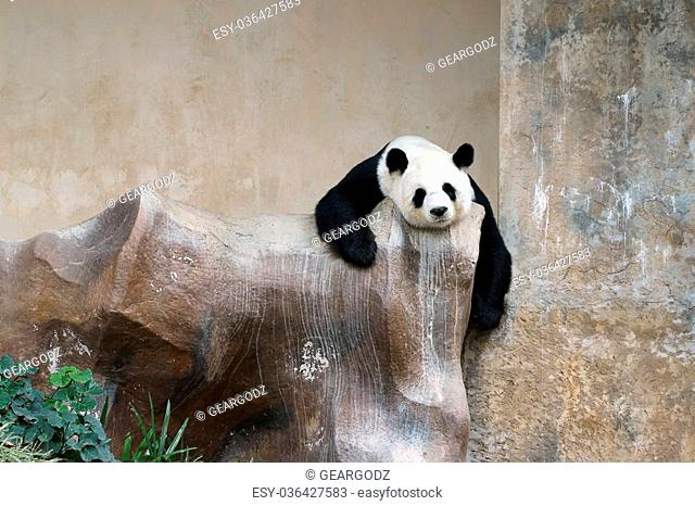 panda bear resting in the zoo