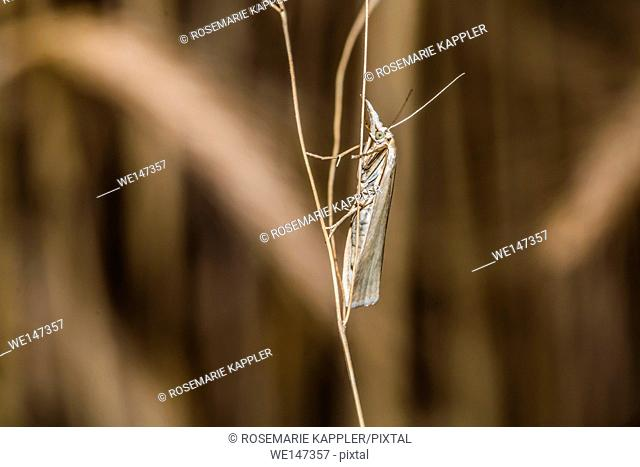 Germany, Saarland, Bexbach - A satin grass veneer is sitting on a grass-stock