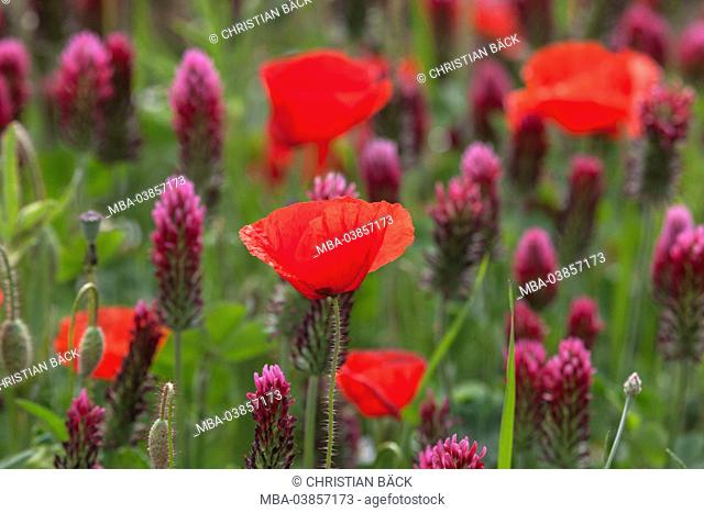 Field with crimson clover and field poppy, Trifolium incarnatum with Papaver rhoeas, Bentfeld, Ostholstein, Holstein, Schleswig - Holstein, Germany