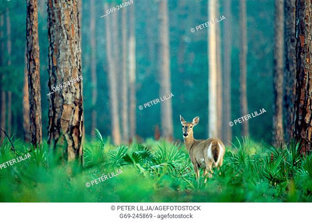 White-tailed deer (Odocoileus Virginianus) in slash pine forest. Highlands Hammock. Florida. U.S.A