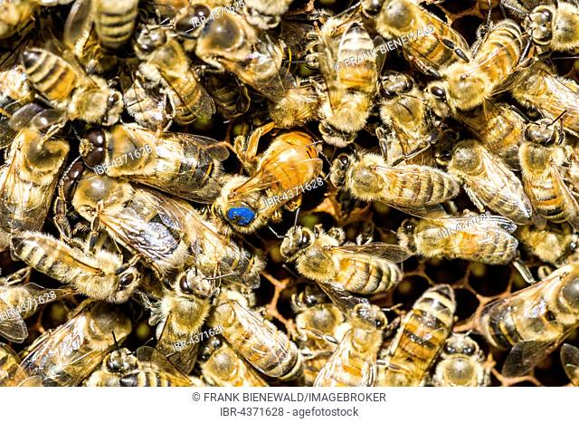 Coloniy with blue marked Queen, Carniolan honey bees (Apis mellifera carnica) ,colony is inserting an egg, Saxony, Germany