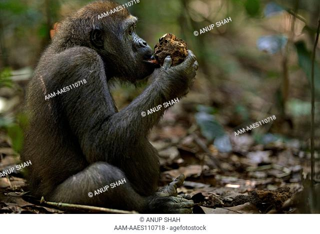 Western lowland gorilla juvenile male 'Mobangi' aged 5 years feeding on termites (Gorilla gorilla gorilla). Bai Hokou, Dzanga Sangha Special Dense Forest...
