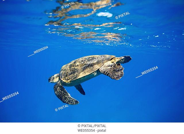 Adult green sea turtle Chelonia mydas diving after coming to the surface to breath near Mala Wharf, Maui, Hawaii, USA  Pacific Ocean