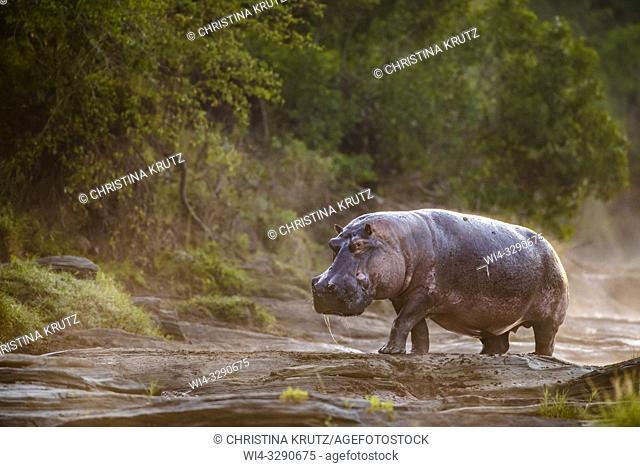 Hippopotamus (Hippopotamus amphibus) standing on the edge of the Olare Orok River, Maasai Mara National Reserve, Kenya, Africa