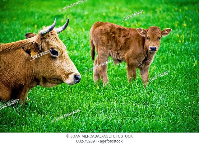 Cow and calf, Minorcan breed. Balearic Islands, Spain
