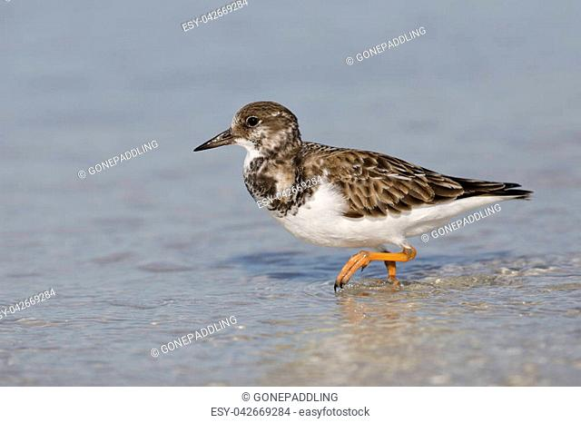 Ruddy Turnstone (Arenaria interpres) foraging in shallow water - Fort DeSoto, Florida