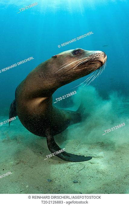 California Sea Lion, Zalophus californianus, San Benito Island, Mexico